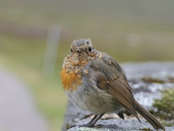 Little Red Robin sitting on the stones of the bridge near the Kingshouse in Scotland, during an overcast summers day.