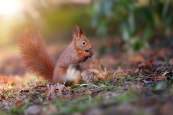 Little red squirrel, sciurus vulgaris, biting in forest in sun light. Small red fluffy animal eating in leafs with blurred background. Wild mammal sitting in nature.