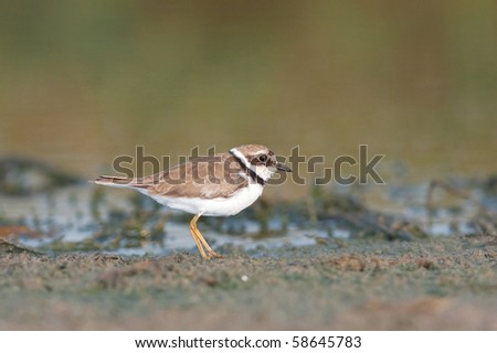 little ringed plover, adult ( Charadrius dubius )