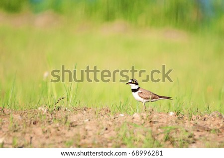 Little Ringed Plover standing on a grass in meadow. Charadrius dubius