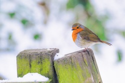 Little Robin Redbreast in wintery woodland