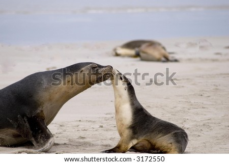 Little sea lion with its mother on the beach of Kangaroo-Island/South Australia