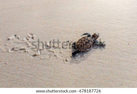 Little Sea Turtle Cub, Crawls along the Sandy shore in the direction of the ocean to Survive, Hatched, New Life, Saves, Way to life, Tropical Seychelles, footprints in the sand, forward to a new life Сток-фото ©