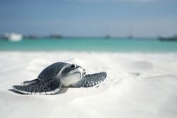 Little sea turtle on the sandy beach