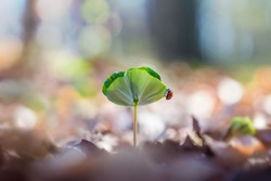 Little seedling with cute ladybug in the forest in springtime. Young Beech (Fagus) tree in it`s natural environment. Concept of new life and growth.