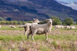 Little Sheep in New Zealand Farm.