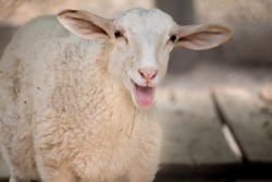 Little sheep screaming with tongue out