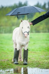 Little shetland pony wearing rubber boots and standing under umbrella in a rainy day