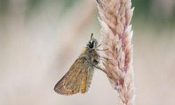 Little Skipper butterfly, Thymelicus sylvestris roosting on a grass stem in a meadow with straw-coloured blurred background. Close up side view, muted colours, copy space.