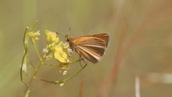 Little Skipper Butterfly - Thymelicus sylvestris, roosting on a small flowers, close-up side view with a blurred background.