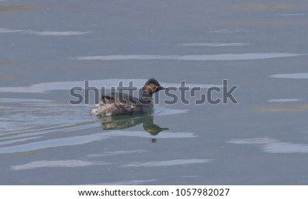 Little small crested grebe swimming on the river