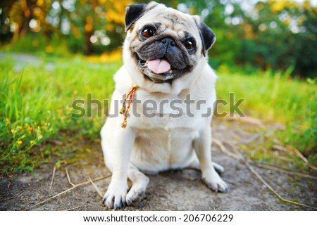 Little smiling pug sitting on a sidewalk in a summer park.