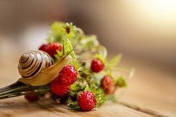 Little snail crawls on wild strawberry bouquet with ripe red berries. Sunlight background