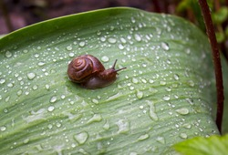 Little snail with brown shell on a large green leaf around a lot of water drops after summer rain. the loneliest snail on the planet. Hawaiian tree snails are long-lived. space for text and ads