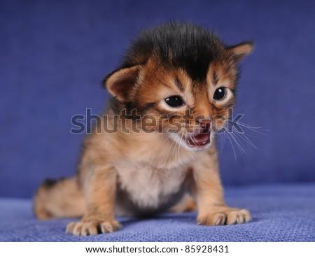 Little somali kitten portrait on blue sofa with open mouth