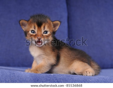 Little somali kitten portrait on blue sofa with open mouth looking at camera. He is trying to say something.
