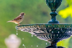 little sparrow about to drinking water in a fountain. bird, ornithology