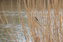 Little sparrow sitting on a reed by the pond.