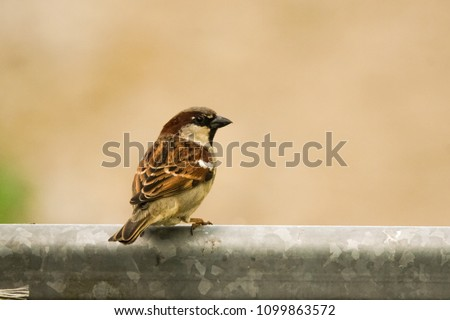 little sparrow sitting on metal fence