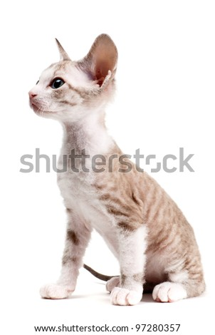 Little Sphinx kitten isolated on the white background