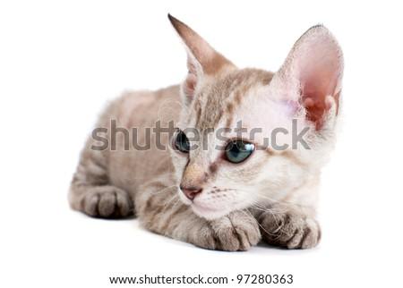 Little Sphinx kitten isolated on the white background