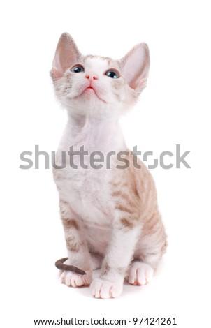 Little Sphinx kitten isolated on the white background - stock photo