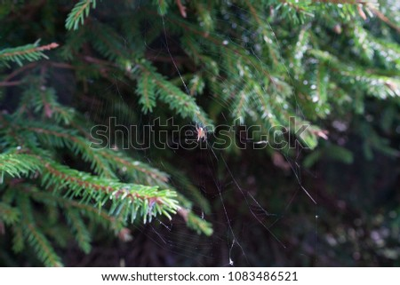 little spider in web on fir-tree, christmastree