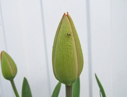 Little spider on a tulip bud