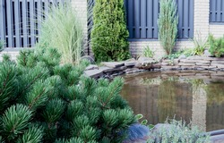 little spruce. Small pond in the backyard, beautiful modern landscape. Texture of profiled metal. Metal fence. beautiful thuja occidentalis on the background of a modern fence made of metal profile.