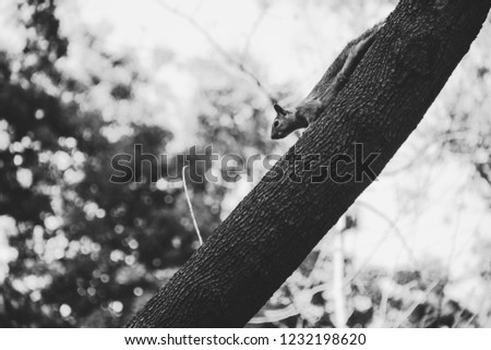 Little squirrel running from the tree in Emirgan Park in Istanbul. Close up view of a cute squirrel in forest. Black and white photo of squirrel in nature. TURKEY.
