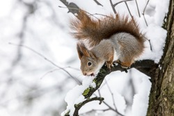 little squirrel sitting on tree branch on blurred forest background. animals in winter.
