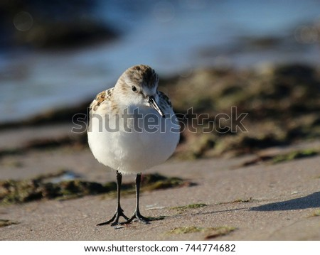 Little stint at seacoast #744774682