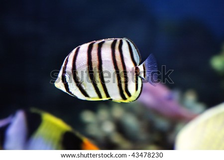 Little striped fish in aquarium closeup photo selective focus