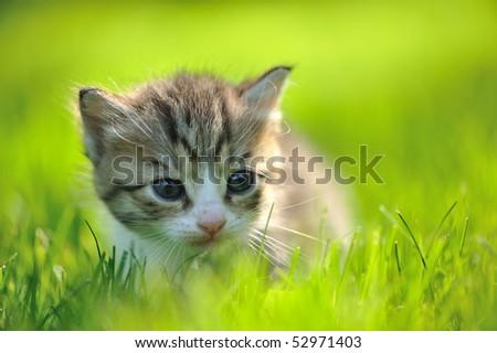 Little striped kitten hiding in the grass close-up