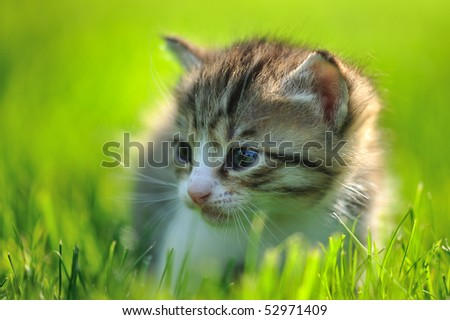 Little striped kitten hiding in the grass looking to the right close-up - stock photo