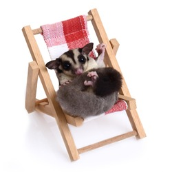 Little sugarglider sitting on the beach chair on white background.
