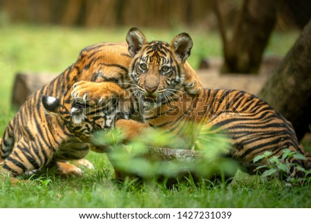 Little Sumatran Tiger playing with his Brother #1427231039