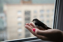 little swallow chick sits on the arm and looks out the window during the rain, keeping birds in captivity