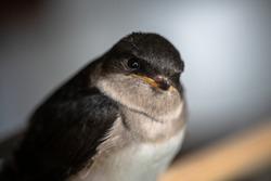 Little swallow sitting on balkony, keeping birds in captivity