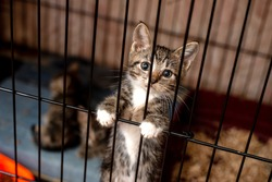 Little tabby cute kitten in  the cage in cat shelter. Cat baby crying in the cage.