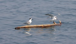 Little Tern ready to takeoff. Little terns on drifting raft in gulf of Thailand.