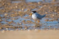 Little Tern (Sternula albifrons) at the shore Ria Formosa, Portugal