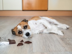 Little terrier dog with chocolate lying on the floor, stomach ache