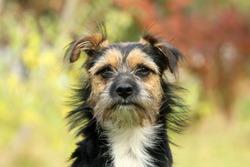 Little Terrier, mongrel, mixed-breed dog