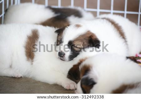 Little Thai Puppies dog sleep on her friends