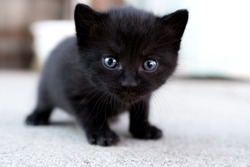 Little three weeks old black blue eyed kitten looking into the camera while trying to walk