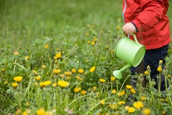 Little toddler in red jacket standing on green grass and watering dandelions from  toy watering can. Child helping in the garden. Boy in the park. Outdoors activities with children