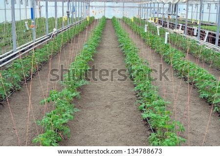 little tomato plants in greenhouse school laboratory experiment