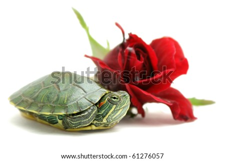 Little turtle and red rose on white background