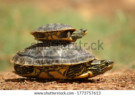 Little turtle over her mother's back